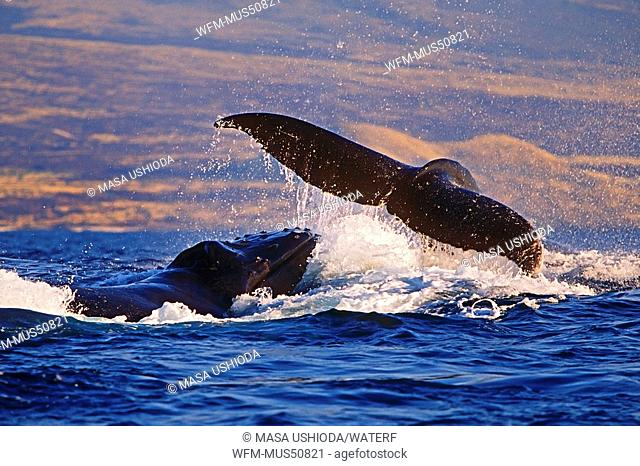 Humpback Whales in courtship, Megaptera novaeangliae, Pacific Ocean, Hawaii, USA