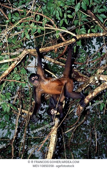 Spider Monkey - Adult and infant hanging from branches (Ateles geoffroyi). Mexico, Panama
