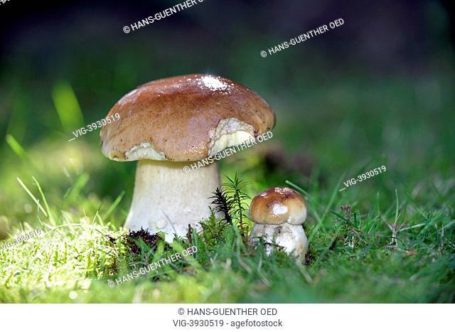 Unkel, GER, Germany, this autumn mushrooms grow very plentiful - Unkel, Rhineland-Pala, Germany, 27/09/2013