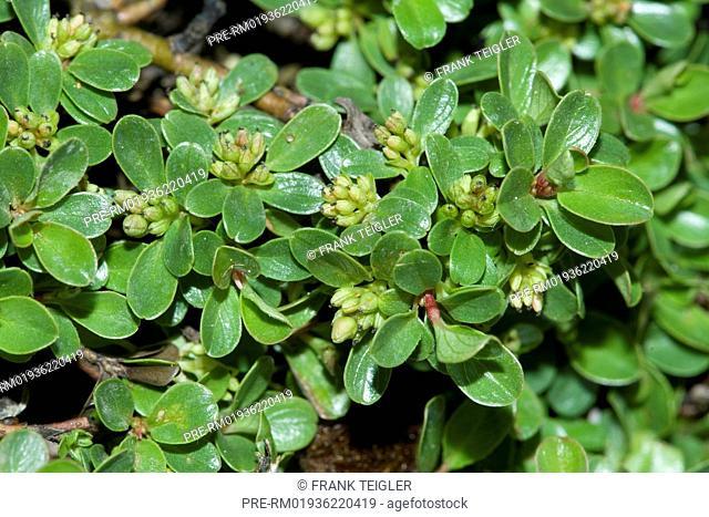 Thyme leaved willow, Salix serpyllifolia / Quendelblättrige Weide, Salix serpyllifolia
