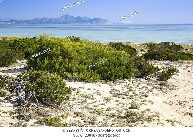 Sand dunes and vegetation at Son Real, Santa Margalida, Majorca, Balearic Islands, Spain
