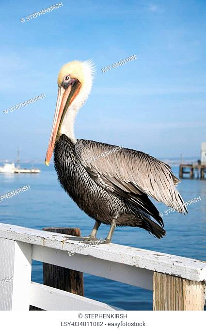Vertical of a pelican rests on a fence by the sea facing left