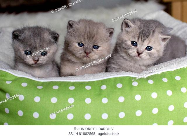 British Shorthair Cat. Three kittens (4 weeks old) in a pet bed. Germany