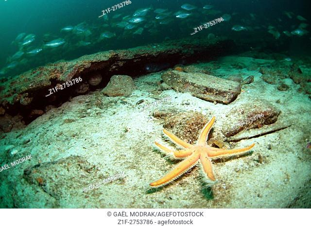 Seven-armed starfish in Brittany waters, France. Luidia ciliaris