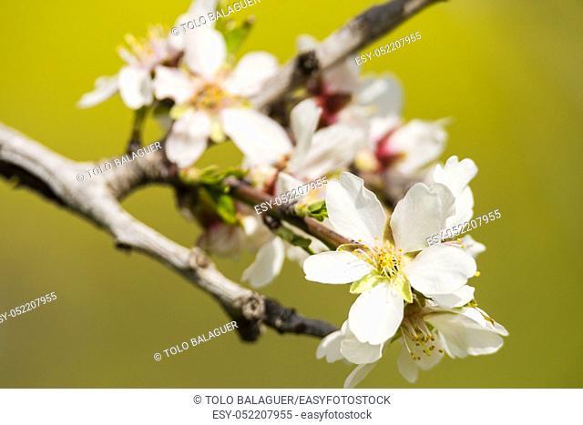 almendo en flor, Randa, municipio de Algaida, Mallorca, balearic islands, spain, europe