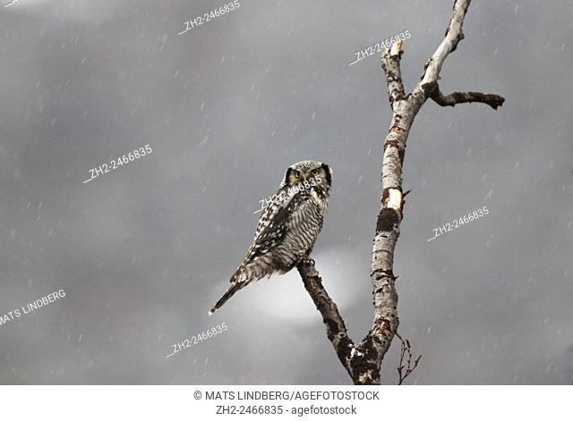 Adult Northern hawk-owl, Surnia ulula, sitting in a birch tree in rain, Stora sjöfallets national park, Gällivare, Swedish Lapland, Sweden