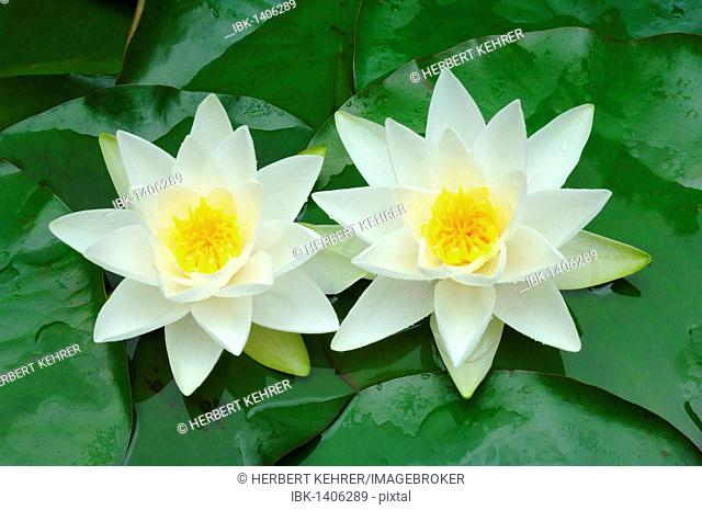 European White Waterlily or White Lotus (Nymphaea alba)