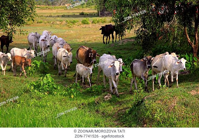 Panoramic of Dairy Cows in Cambodia
