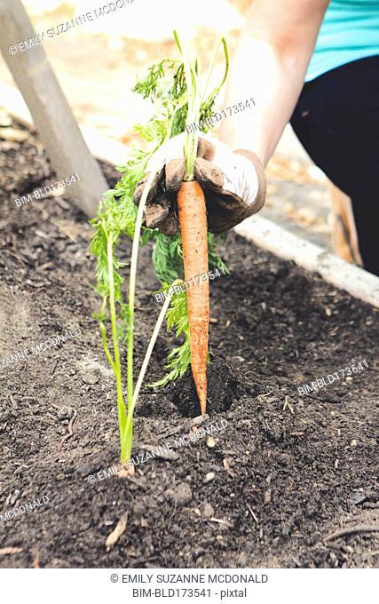 Woman planting carrot in garden