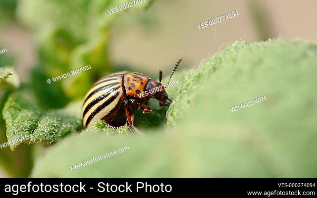 Close Up Of Single Colorado Potato Striped Beetle - Leptinotarsa Decemlineata Is A Serious Pest Of Potatoes Plants