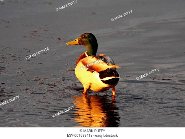 Northern Shoveler drake wading in pond