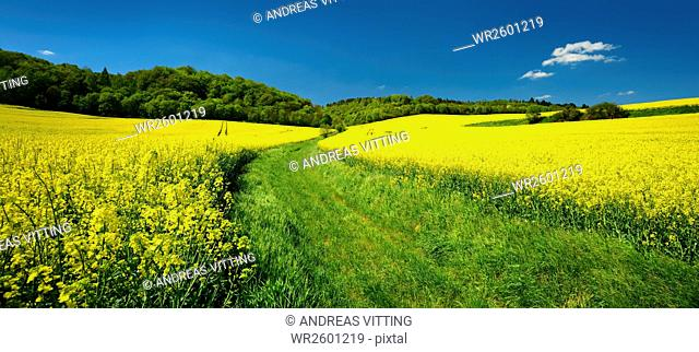Landscape with rapeseed fields, Burgenlandkreis, Sachsen-Anhalt, Germany