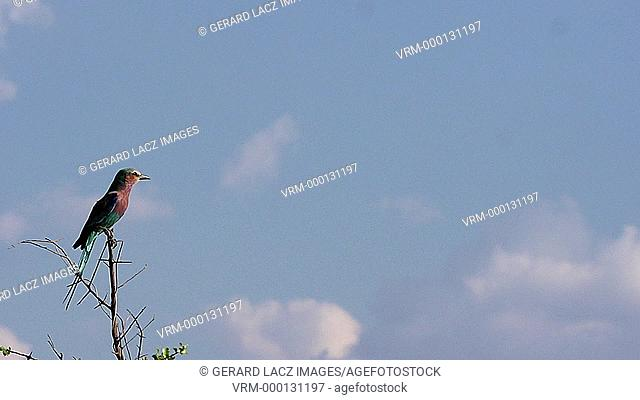 Lilac Breasted Roller, coracias caudata, Adult taking off from Branch, in Flight, Okavango Delta in Botswana, Slow Motion