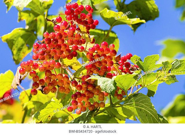 guelder-rose viburnum (Viburnum opulus), fruit umbels, ripe fruits, Germany, Bavaria, Isental