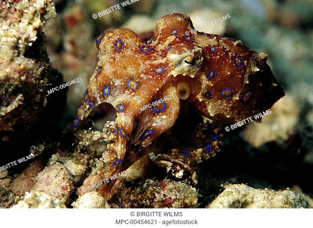 Blue-ringed Octopus (Hapalochlaena sp) camouflaged in reef, Papua New Guinea