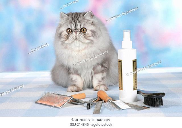 Persian Cat. Gray adult sitting next to grooming equipment. Germany