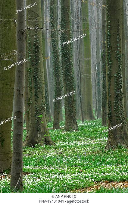 Wood Anemone Anemone nemorosa - Hallerbos, Halle, Zennevallei, Flemish Brabant, Flanders, Belgium, Europe