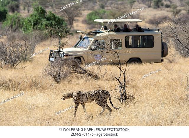 A Cheetah (Acinonyx jubatus) with a safari vehicle in the background in the Samburu National Reserve in Kenya