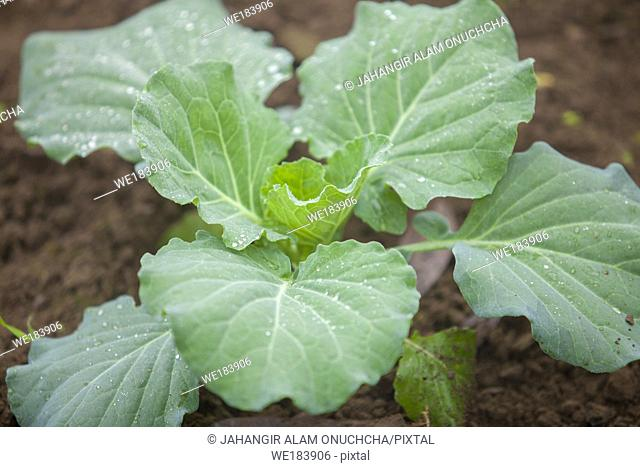 Top views of cauliflower vegetable plant in garden at Ranisankail, Thakurgaon, Rangpur, Bangladesh