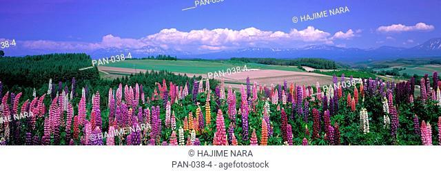 Lupines and Distant Mountains, Kamifurano, Hokkaido, Japan