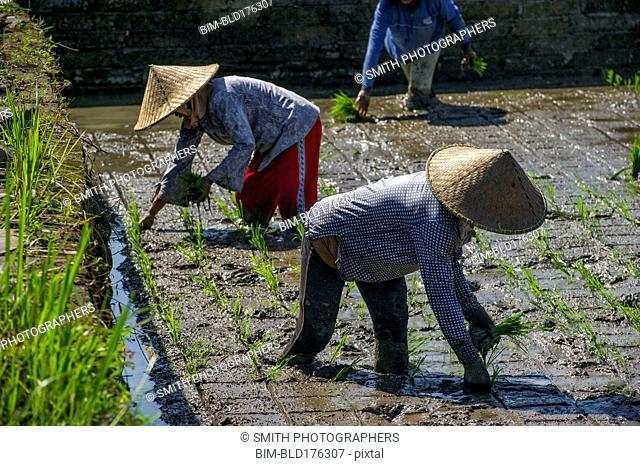Farmers planting rice in paddy field