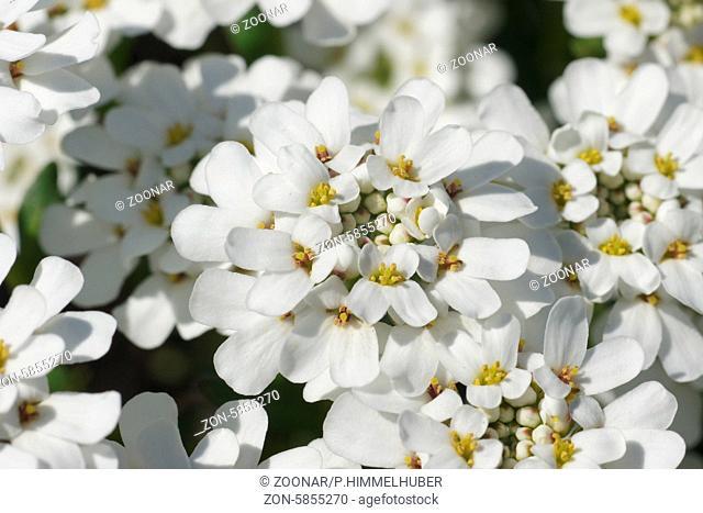 Iberis sempervirens, Schleifenblume, Candytuft