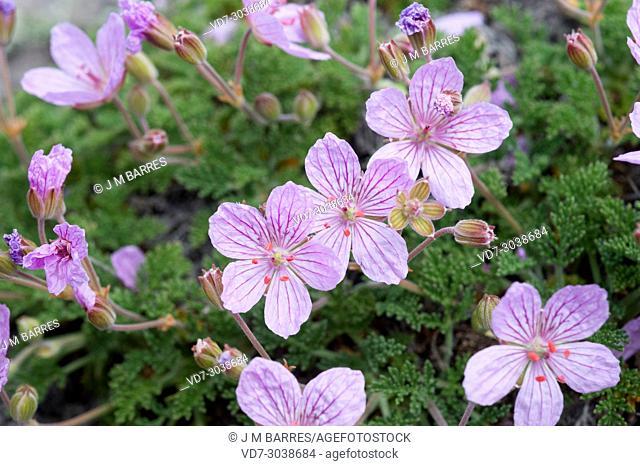 Geranio del Paular (Erodium paularense) is an endangered species endemic to El Paular (Madrid), Guadarrama Mountains and Guadalajara province
