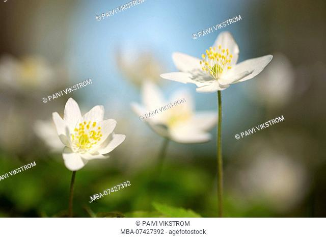 Close-up of Wood Anemone flowers, Anemone nemorosa