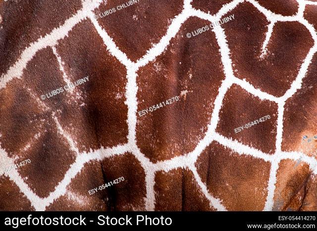 Textured skin of giraffe, Giraffe pattern