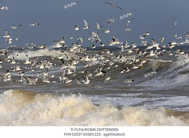 Black-headed Gull (Chroicocephalus ridibundus), Common Gull (Larus (Larus canus), Lesser Black-backed Gull (Larus fuscus) and Mediterranean Gull (Larus...