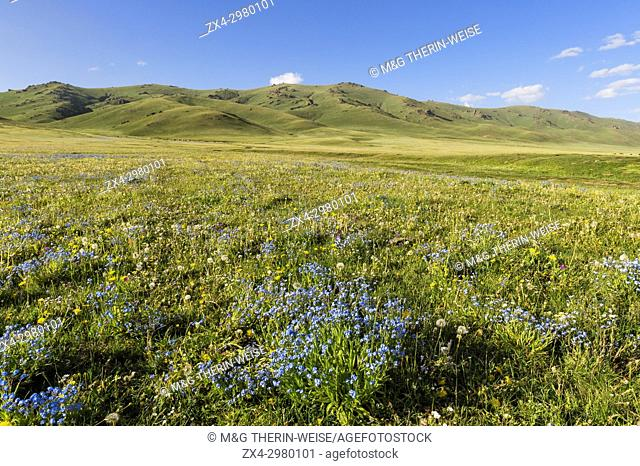 Wildflowers, Song Kol Lake, Naryn province, Kyrgyzstan, Central Asia
