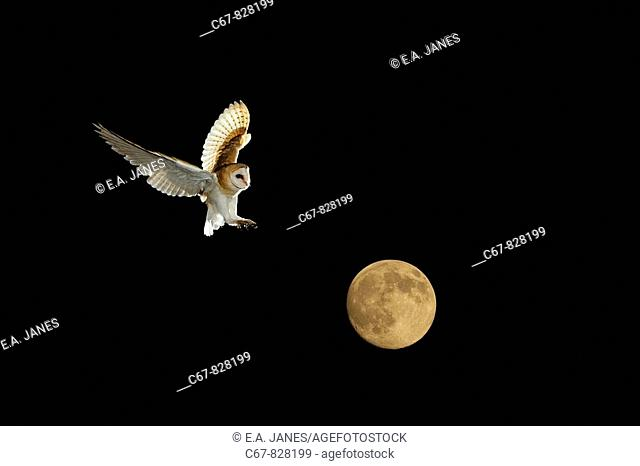 Barn Owl and full Moon Norfolk December