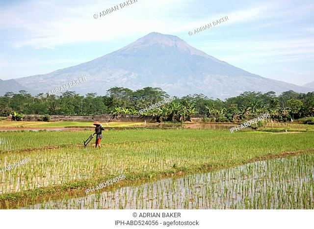 Indonesia Central Java Magelang Planting rice on the plains between the many volcanoes of the area