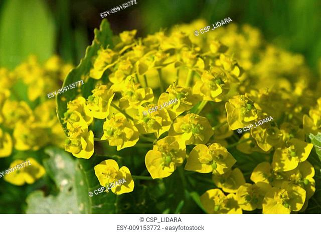 Cypress Spurge (Euphorbia cyparissias) flowers
