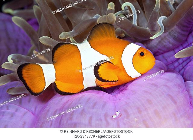 Clown Anemonefish, Amphiprion ocellaris, Triton Bay, West Papua, Indonesia