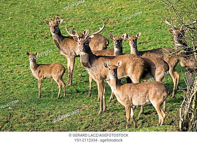 Eld's Beer or Brown-Antlered Deer, cervus eldii, Herd