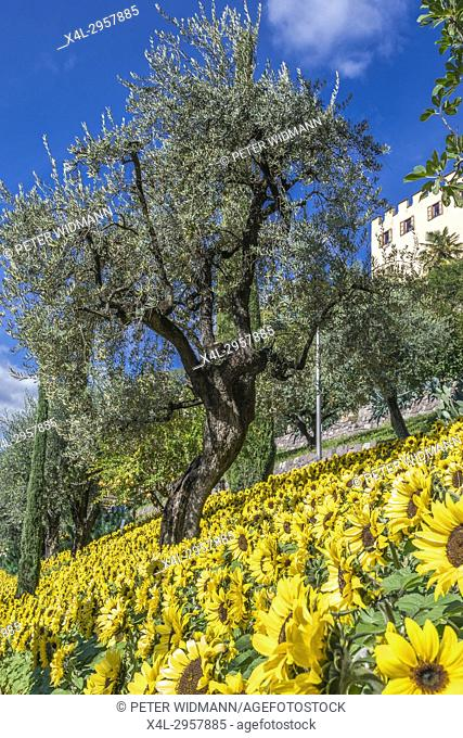 Sunflowers and Olive Tree in the Gardens of Trauttmansdorff Castle, Merano, South Tirol, Italy, Europe