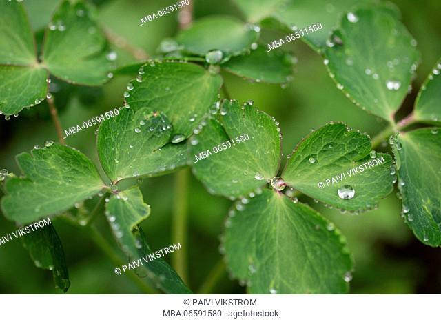 Close-up of dew drops on a green plants on a cloudy summer day, nature background