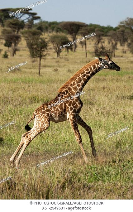 A juvenile Masai Giraffe (Giraffa camelopardalis tippelskirchi) also known as the Maasai Giraffe or Kilimanjaro Giraffe, is the largest subspecies of giraffe...