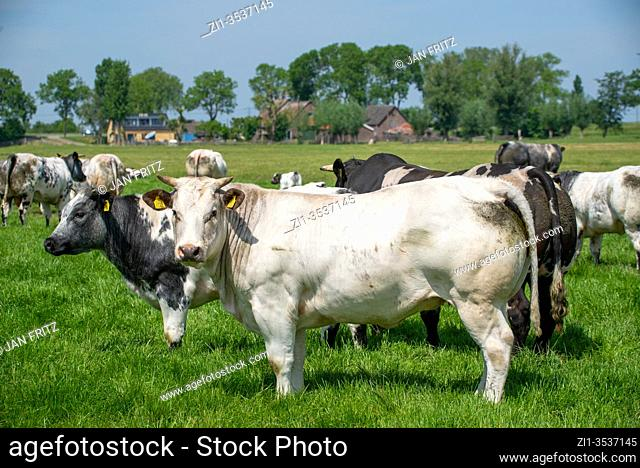 herd of cows at grassland in Groene Hart, Holland