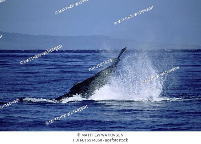 Humpback whale Megaptera novaeangliae tail lobbing / tail throw. Hawaii, USA