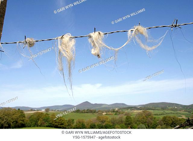 sheep's wool stuck to barbed wire fence in country