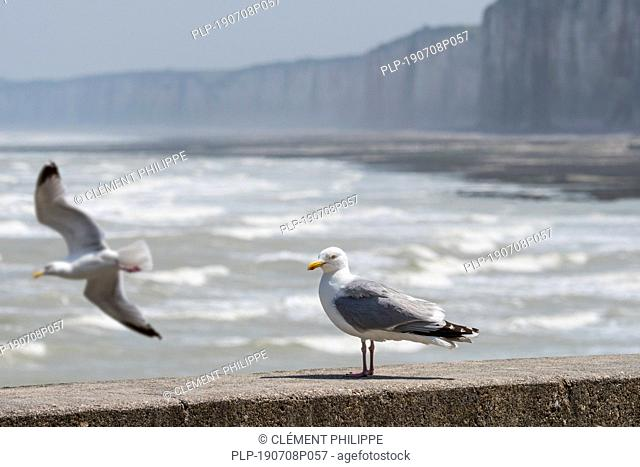 European herring gull (Larus argentatus) perched on seawall in harbour along the North Sea coast at Normandy, France