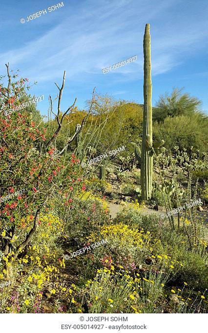 Large saguaro cactus and desert bloom in Saguaro National Park West, Tucson, AZ