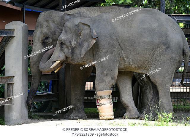 Elephant at Phnom Tamao zoo,zoological garden,wildlife rescue center,Cambodia,South east Asia