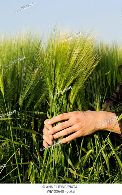 hands holding barley in field