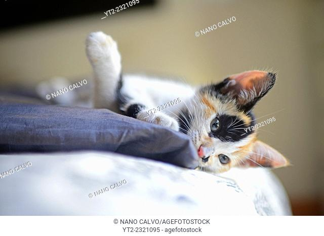 Calico three colored kitten, also known as tortie or tortoiseshell