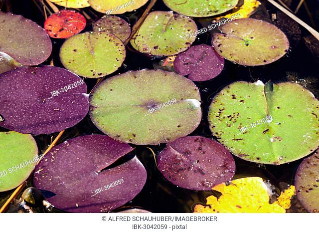 Leaves of Water Lilies (Nymphaea)