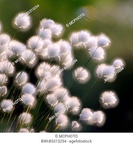 tussock cotton-grass, hare's-tail cottongrass (Eriophorum vaginatum), fruiting, Germany, Lower Saxony