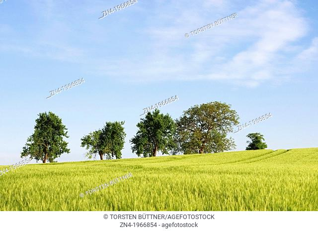 Group of Trees Standing inside a Wheat Field near Bad Schallerbach, Upper Austria, Austria
